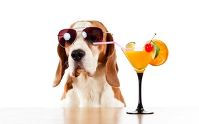 Picture table, glass, orange, humor, glasses, cocktail, white background, lime, tube, cherry, Basset hound
