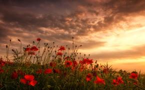 Picture field, clouds, flowers, Maki, meadow