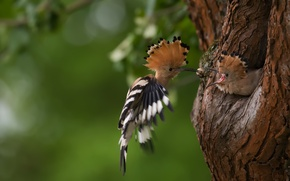 Picture birds, nature, tree, hoopoe, double