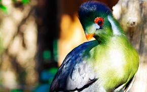 Picture the sun, nature, bird, feathers, beak, Africa, bokeh, Turako, Turaco