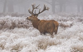 Picture winter, frost, grass, snow, nature, animal, deer
