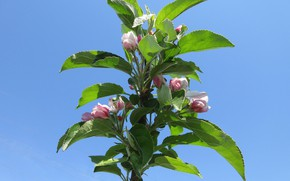 Picture flowers, Apple, buds, neo, spring 2018, Mamala ©