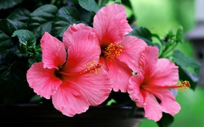 Picture macro, pink, hibiscus