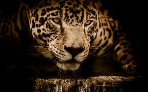 Picture face, water, predator, Jaguar