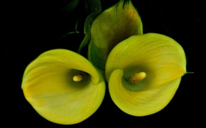 Picture flowers, background, petals, Calla lilies