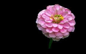 Picture Background, zinnia, Pink flower, Pink flower