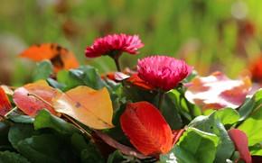 Picture autumn, flowers, foliage, beauty, Daisy
