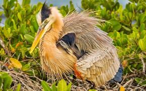 Picture bird, feathers, beak, Heron