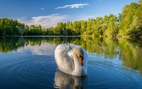 Wallpaper nature, landscape, lake, trees, Swan
