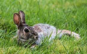 Picture grass, stay, hare