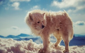 Picture nature, dog, snow, bokeh, animal, wolf, wild, fur, Arctic wolf, close up