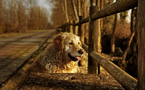 Picture each, the fence, dog