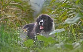 Picture field, dog, corn, Landseer