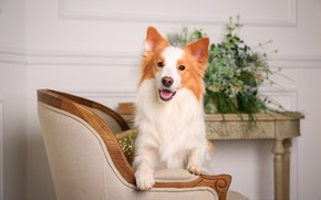 Picture chair, muzzle, ears, breed
