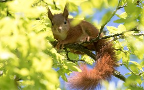 Picture leaves, light, branches, pose, tree, foliage, blur, protein, muzzle, wildlife, squirrel, rodents, nimble