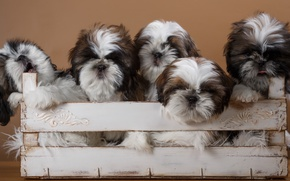 Picture puppies, box, breed, quintet