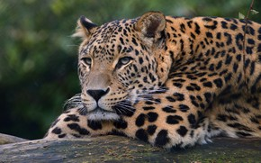 Picture look, face, cats, background, paws, leopard, lies, wild cats, wildlife