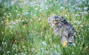 Picture the steppe, manul, kitty, meadow, small, flowers