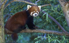 Picture nature, tree, Panda, red