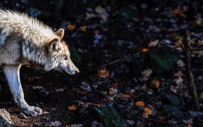 Picture nature, wolf, predator
