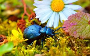 Picture Macro, Beetle, Daisy