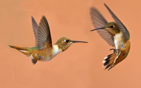 Picture bird, wings, beak, pair, Buffy Hummingbird