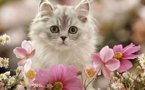 Picture flowers, kitty, fluffy, kosmeya
