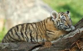 Picture look, nature, animal, predator, snag, cub, tiger