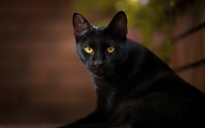Picture cat, cat, look, black cat