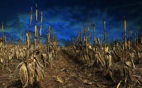 Picture field, the sky, corn