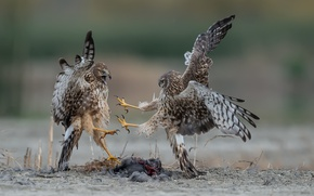 Picture birds, nature, northern harriers