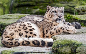 Wallpaper stones, snow, bars, cats, zoo, wild cats, snow leopard, nature, lies, luxury, look, spotted, pose