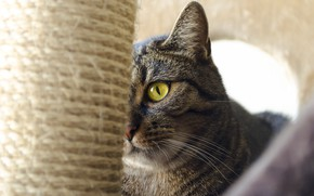 Picture cat, cat, look, face, grey, background, portrait, house, striped, scratching post, cat house