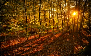 Picture autumn, forest, leaves, the sun, rays, trees, yellow
