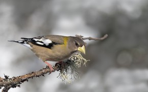 Picture bird, branch, beak, female, American evening Grosbeak