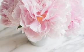 Wallpaper flowers, bouquet, marble, pink, flowers, peonies, peonies, tender, marble