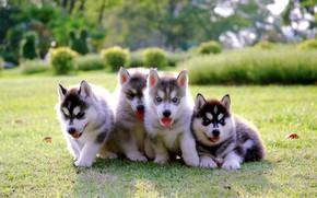 Wallpaper Park, puppies, kids, lawn, puppy, husky, dog, park, cute, husky