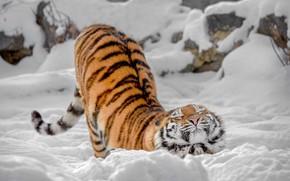 Wallpaper winter, wild cat, snow, tigress, potyagushki