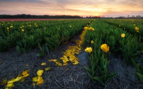Wallpaper field, the sky, sunset, flowers, yellow, tulips, the ranks, plantation