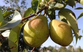 Picture autumn, fruit, pear