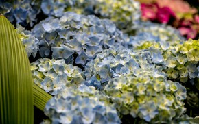 Picture flowers, nature, Bush, flowering, blue, Hydrangea