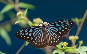 Picture macro, butterfly, wings, Some ideopsis
