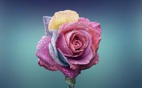 Wallpaper Rosa, paint, petals, rose, drops