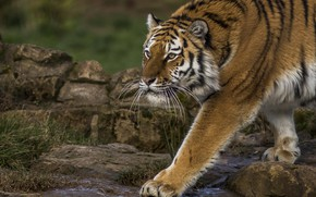 Picture tiger, paw, predator