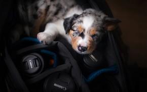 Picture sleep, baby, puppy, doggie, The border collie, sleep, case
