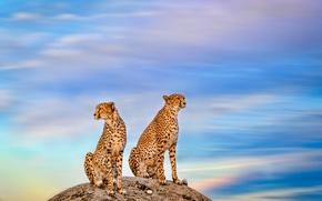 Wallpaper a couple, wild cat, the sky, cheetahs, stone