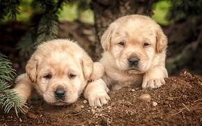 Picture dogs, puppies, kids, a couple, faces, Labrador Retriever