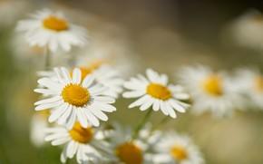 Picture macro, flowers, chamomile, petals, blur, bokeh