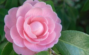 Picture macro, pink, Camellia