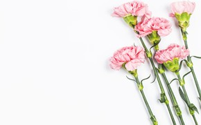 Picture Flowers, White background, clove